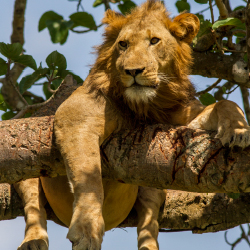 5 Days Murchison falls National Park, tree climbing lions
